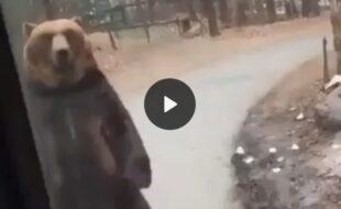 Apenas um urso caminhando como pessoa